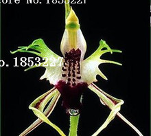 Free shipping, magical and rare doll orchid seeds, a packet of seeds 50PCS, DIY home beautiful orchid plant