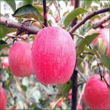 20kinds China Rare Super Big Apple Tree Seeds Sweet Apple Seeds Free Shipping