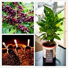 10pcs/bag coffee bean seeds organic fruit seeds vegetables Refreshing bonsai plant for home and garden