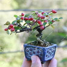 Trial product Bonsai Apple Tree Seeds 20 Pcs apple seeds (used wet sand sprouting )fruit bonsai garden in flower pots planters