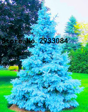 100 seeds/pack rare Evergreen Colorado blue spruce seeds PICEA PUNGENS GLAUCA good for growing in pots bonsai flower seed