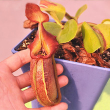 120 pcs Flytrap Plants Seeds Balcony Bonsai Nepenthes Mira Seeds Potted Carnivorous Plants Seeds