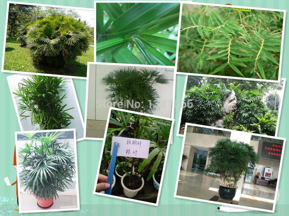 Evergreen foliage plant seeds, excelsa seeds, seed Guanyin Zhu, tendons head bamboo, bamboo palm, dwarf Zongzhu 20pcs(China (Mainland))