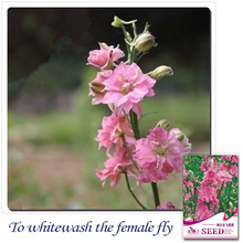 Buy 2 Get 1!(Can accumulate ) 1 Pack 30 Seed spikelike cute pink rocket consolida A173(China)
