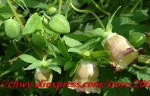Herbal medicine codonopsis pilosula seed seed fill lung, enhance immunity, free shipping 20seeds/bag(China)