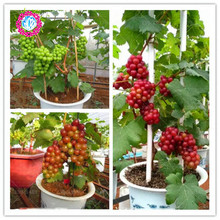 Rare red Grape Seeds Advanced Fruit Seed Natural Growth Grape Delicious Fruit food Plants 30 Seeds / Pack .Grape Bonsai Seeds