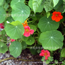2017 Special Offer Limited Summer Pisces Excluded Medium Seeds Nasturtium Seeds Dry Grass Bearing Seed Level Money 0.2kg/lot