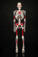 85cm  Human skeleton anatomical model for sale Anatomical Anatomy Skull Sculpture Head body model Muscle Bone Artist