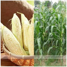 White corn seeds Outdoor Plants vegetable seeds -15pcs