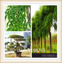 Free Ship 50 Seed Particles Ash Tree Seeds Bonsai Seeds Flowering Green Tree Seed Diy Home Garden Giant Fig Tree Plant In Jardin