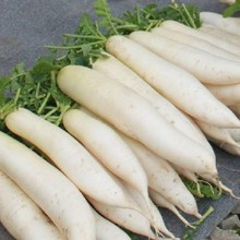 LORRAINE white radish seeds - high yield , resistance to bolting and good (10seed)