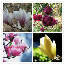 30 pcs magnolia seed, magnolia tree, magnolia flowers seed for home garden DIY  ornamental-plant free shipping