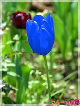 Senior plant seeds. Rare blue tulip bulb - 10 PCS potted flower. (not a tulip seed)