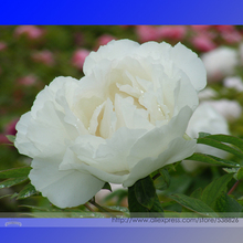 'Bai Dew' Snow-white Peony Tree Flower Seeds, Professional Pack, 5 Seeds / Pack, Light Fragrant Big Blooming Flowers