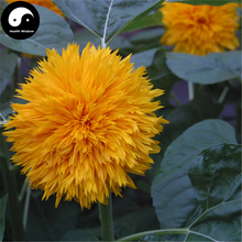 Buy Helianthus Annuus Seeds 30pcs Plant Sunflower Garden Grow Helianthus