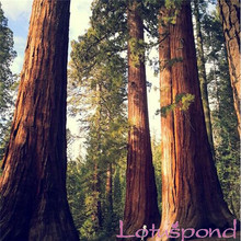 20 Giant Sequoia Seeds dawn redwood largest fresh natural park tree High quality 100% real seeds