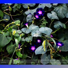 Dark Blue Pink Heart Morning Glory Ipomoea Nil Climbing Flower Seeds, Professional Pack, 50 Seeds / Pack, Long Flowering #NF897