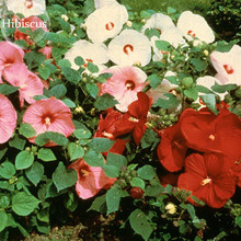 Perenne Rosemallow Mezclado Flores de Hibisco, 20 semillas, quietly brilliant flores E3841(China)