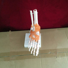 Life Size Foot Joint with Ligaments Anatomical Skeleton  anatomical Anatomy Skull Sculpture Head body model Muscle Bone Artist