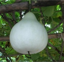 Free Shipping Big Spoon Bottle Gourd Seed, bottle gourd seeds, vegetable seeds flower, Seasons can be sown - 10 Seed particles