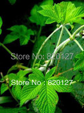100 Seeds Gynostemma pentaphyllum jiaogulan Seeds from China Great Yao mountain(China)