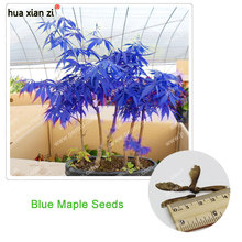 Rare Blue Maple Seeds Maple Seeds Bonsai Tree Plants Potted Garden Japanese Maple Seeds 10 Pieces / lot(China)