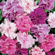 200 pcs/bag Double Petals Petunia Seeds Bonsai Flower Seeds Short Height Home Garden Flowers Seeds Indoor Or Outdoor Plants(China)
