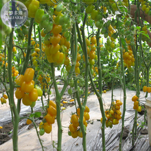 'Huang Nvnai' Elliptical Yellow Cherry Tomato Seeds, 100 seeds, pro pack, tasty edible sweet fruits indeterminate growth TS377T(China)