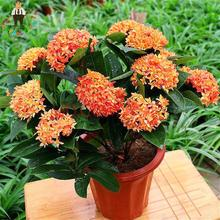 Home Courtyard Jardin Fragrant Osmanthus Flower Seeds Perennial Bonsai Tree Plants Fragrans Seeds Garden Flowers Sementes 10pcs