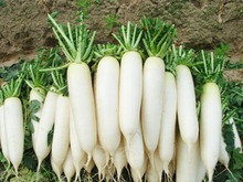 Free Shipping 100 White Radish Seeds Delicious Vegetables very tasty crisp,Nice DIY Vegetables Gardeb f52