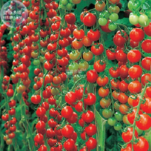 BELLFARM C Rare Dolce Vita Organic Tomato Seeds, Professional Pack, 100 Seeds / Pack, Tasty Beautiful Tomato E3155(China)