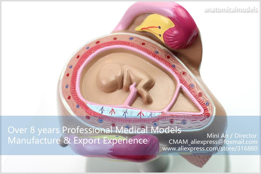 CMAM-ANATOMY12 Embryonic development model 6