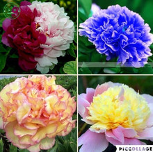 New Arrival!A variety of colors Rare Chinese Peony Seeds Planting of And Flowers Garden Paeonia Suffruticosa Seeds 20 PCS g58