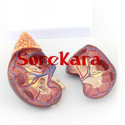 1:1 Human Anatomical Kidney &amp; Adrenal Gland Organ Medical Teaching Model School Hospital<br>