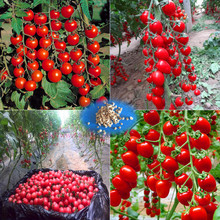 100 - Greek Tomato Seeds Heirloom Sweet Gardening Seeds Plants Non Gmo Vegetable Seeds For Home Garden Planting Sent Gift(China)
