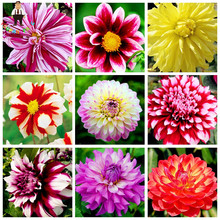 30pcs/Bag Dahlia Flower Potted Gorgeous Dahlia Seeds Various Kinds Bonsai Flower Seeds Chinese Peony Garden Plant