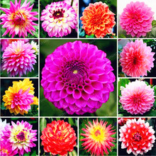 1 Bulbs Multi-Colored Dahlia Bulbs Beautiful Perennial  Dahlia  Flower Bulbs Bonsai Plant DIY Home Garden