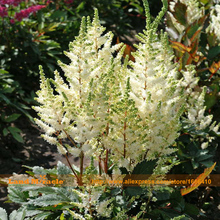 Charming Creamy White Astilbe Chinensis Seed, 100 Seeds/Pack, The Bright Flower Seeds Dwarf Plants Perennial-Land Miracle