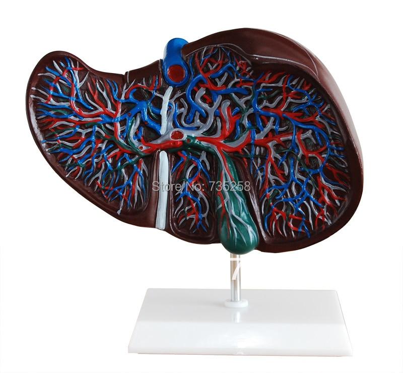 Liver Model ,The Liver Anatomical Model<br>
