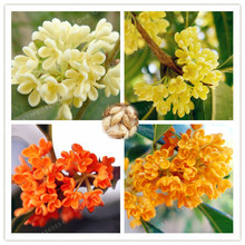 20PCS / Bag Multi-Color Osmanthus Flower Seeds,100% True Seeds ,Courtyard Fragrant Flower Seeds Perennial  Osmanthus Seeds