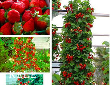 Hot Sale!200 Pcs Climbing Red Strawberry Seeds With SALUBRIOUS TASTE * NON-GMO Strawberry Mount Everest* EDIBLE * Fruit,#4Z0CJ2