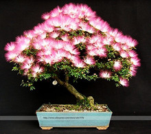Bonsai Tree Albizia julibrissin seeds.rare flowers seeds in bonsai,30 seeds/pack indoor pink Albizia julibrissin for Home Garden(China)