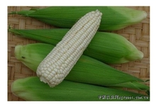 White waxy maize seeds Pure white Sweet corn White corn seeds