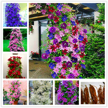 Real climbing clematis bulbs,clematis tree bulbs, perennial plant pot flower bulbs (not clematis seeds) for home garden 1 pcs