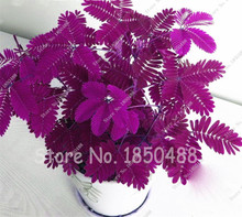Hot Sales! 20pcs Bashful Grass Seeds Mimosa Pudica Linn, Foliage Mimosa Pudica Sensitive
