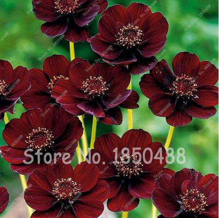 50 Seeds/bag Rare Chocolate Cosmos Flower Seeds-blooms All Summer Long And Has Rich Scent Like Chocolate Diy Home Garden Flower(China (Mainland))
