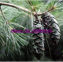 Quality Species,10pcs/lot Korean Pine,Pinus koraiensis seed evergreen plant bonsai plant DIY home garden free shipping(China)