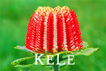 Banksia coccinea seeds, rare flower seeds, potted seed, variety complete, the budding rate 95% - 10 seeds/bag,#KYIJ1P