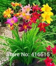 Day Lily Daylily Seeds Unique 50 Daylilies - Hemerocallis Fulva Day-lily Seeds Mixed Color Flower Seeds Bonsai Perennial Seed