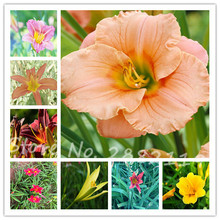 Promotion!100pcs Edible Daylily Seeds Very Tasty Nutritive garden bonsai healthy organic vegetable seeds(China)